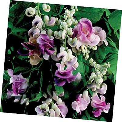 Seeds VIGNA Caracalla, Sweet Fragrance Corkscrew, Snail Vine 4 Seeds, Gorgeous : Garden & Outdoor