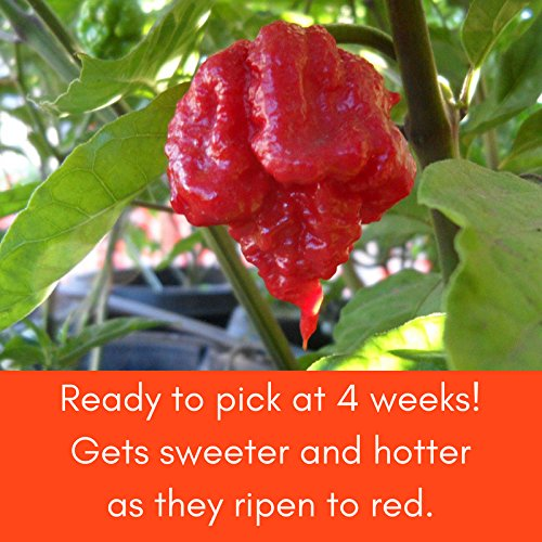 Carolina Reaper Pepper Plant - Non-GMO , Two (2) Live Plants - Not Seeds - Each 3''-7'' Tall- In 3.5'' Pots - WORLD'S HOTTEST PEPPER - 2.2 Million Scoville Units , Includes Clovers Garden Copyrighted Plant Care Guide