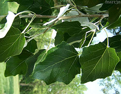 10 Rooted Fast Growing Hybrid Poplar Trees - 14-18 inches Tall - Fast Growing - Get Privacy and Shade Very Fast with These Easy to Grow and Attractive Trees. by CZ Grain (Image #4)