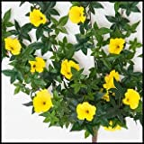 Windowbox 26in. Morning Glory Vine, Outdoor Rated - Yellow