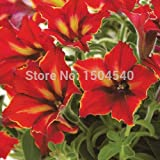 Brand New! 50 pcs/Bag,Mandevilla Plants, Planting Seasons, DIY Planting Flowers Beautiful Lovely