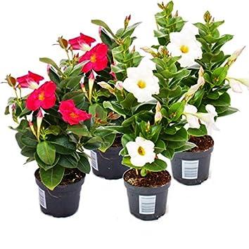 Dipladenia Chilenischer Jasmin 4 Pflanzen 2 X Weiss 2x Rosa