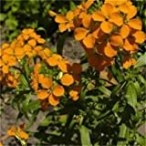 Seedville Cheiranthus Cheiri English Wallflower Flowers - 300 Seeds