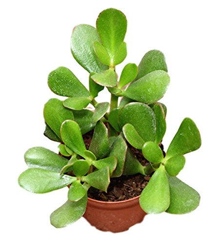"""Crassula Ovata Magical Jade Money Plant"" Tree Perfect Plants"