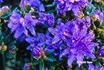9cm Pot Dwarf Rhododendron Impeditum...