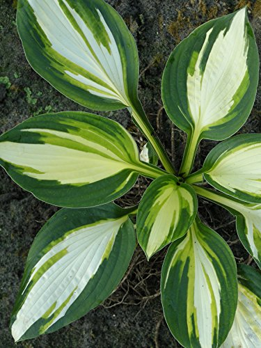 Burpee Bare Root Hosta Color Festival 3 Bare Root Plants