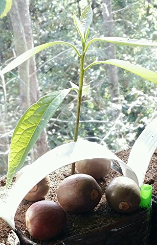 2-hass-dwarf-coldhardy-avocado-seeds-organic-non-gmo-seed-to-sprout-4-weeks