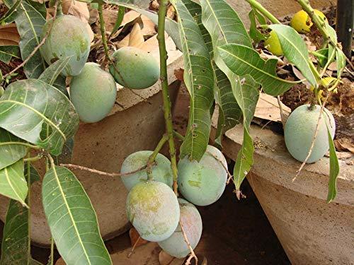 Creative Farmer Live Fruit Dwarf Plant Mango Himsagar Khirsapat Plant Exotic Sweet Kitchen Garden Plant(1 Healthy Live Plant) (B07P1J6L6C) Amazon Price History, Amazon Price Tracker