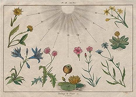 Linnaeus Flower Clock Horloge De Flore I Horologium Florae Old Print 1833 Amazon De Home Kitchen