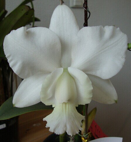 Cattleya Hybrida Flower seeds 20seeds Famous Flowers Orchids seeds Bonsai Potted Office Plant Beautiful Flowers