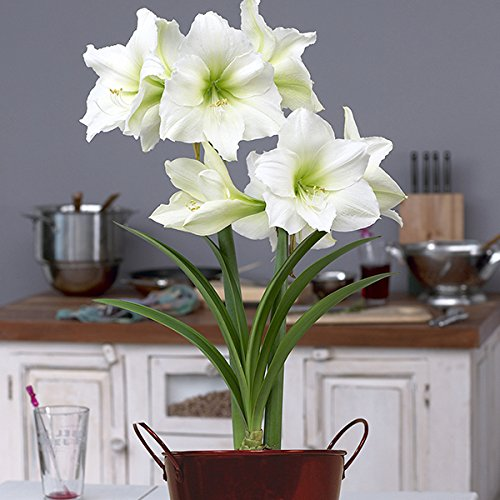 Van Zyverden 87269 Amaryllis Kit-Christmas Gift-with Artisan Decorative Planter Flower Bulbs, 26/28 cm, Red (And Flowers Amaryllis Plants)