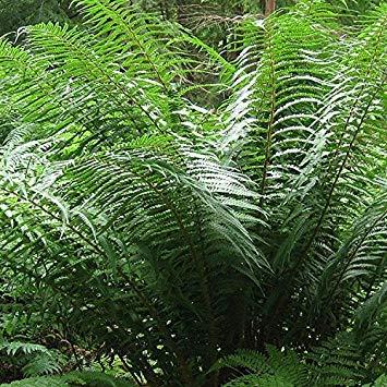 Shop Meeko Dryopteris x 15cm affinis Pot Sizeplant: Amazon ...
