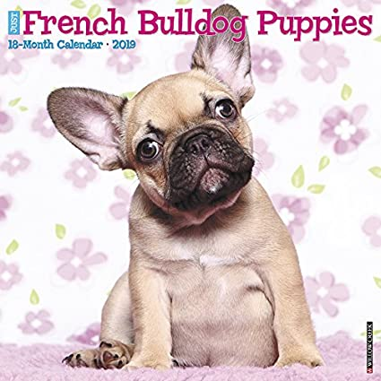 Amazoncom French Bulldog Puppies 2019 Wall Calendar Dog Breed