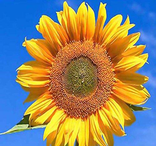 1LB (9,200+ Seeds) PEREDOVIK Sunflower Seeds - Game Birds & Deer Favorite - PLOT FOOD WILDLIFE - Non-GMO Seeds By MySeeds.Co by MySeeds.Co - BIG PACK Seeds