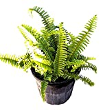 PlantVine Nephrolepis exaltata 'Bostoniensis', True Boston Fern, Massii - 10 Inch Pot (3 Gallon), Live Indoor Plant