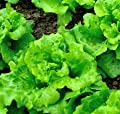"""Arianna Romaine"" Lettuce Seeds, 1000+ Premium Organic Heirloom Seeds, Batavian Lettuce, ON SALE!, (Isla's Garden Seeds), Non Gmo Survival Seeds, 99.7% Purity, 85% Germination, Highest Quality!"