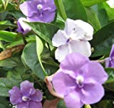 YESTERDAY TODAY TOMORROW Live Semi-Tropical Flowering Shrub Plant Purple White Lavender Spring Bloom Starter Size 4 Inch Pot Emerald tm