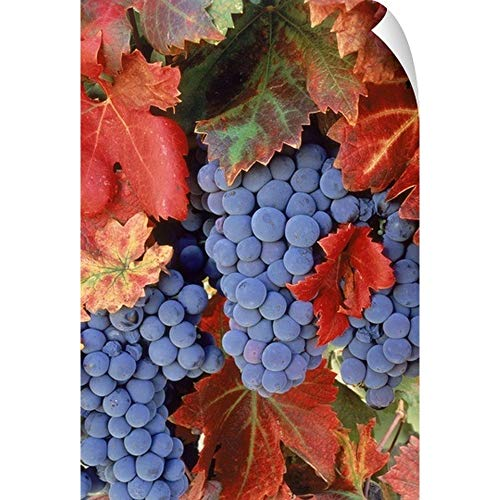 (Zinfandel Grapes on Vine with Gold Fall Foliage, California Wall Peel Art Print,)