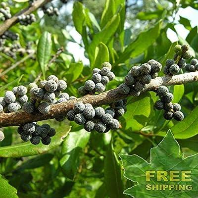 Wax Myrtle Southern Myrica Cerifera - 100 Seeds. : Garden & Outdoor