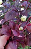 Little Ruby Joseph's Coat 1 Live Plant Alternanthera dentata Groundcover Bush