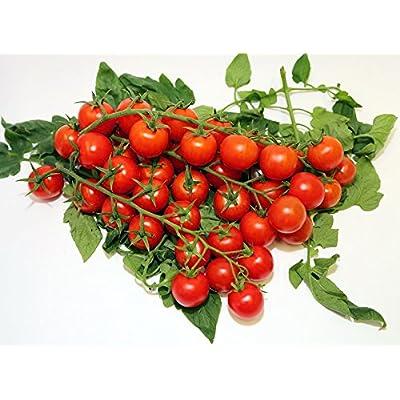 20+ ORGANICALLY Grown Sicilian Ciliegino Cherry Tomato Seeds, Heirloom Non-GMO, Rare, Classic Italian, Indeterminate, Open-Pollinated, Productive, Delicious, from USA : Garden & Outdoor