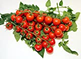 20+ ORGANICALLY GROWN Sicilian Ciliegino Cherry Tomato Seeds, Heirloom NON-GMO, Rare, Classic Italian, Indeterminate, Open-Pollinated, Productive, Delicious, From USA Review