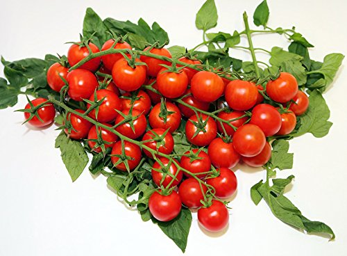 20+ ORGANICALLY GROWN Sicilian Ciliegino Cherry Tomato Seeds, Heirloom NON-GMO, Rare, Classic Italian, Indeterminate, Open-Pollinated, Productive, Delicious, From USA (Indeterminate Tomato Plants)