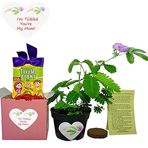 TickleMe Plant New! Mother's Day/Birthday Box Set - to Grow The Plant That Closes its Leaves When You Tickle it or Blow it a Kiss! It Even Grows Pink Flowers!