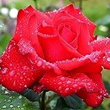 Grande Amore® ADR Rose Edelrose