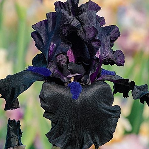Anvil of Darkness Black BEARDED REBLOOMING IRIS (1) Rhizome/Bulb/Root Ready for Planting Now