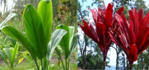 Red & Green Good luck Ti Logs Hawaiian -Apx. 3 inch per log #D1