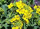 Seeds Herb Mustard Sinapis Alba Russian Heirloom