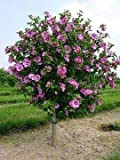 (Tree Form 3 Gallon) Althea Aphrodite-Each was Beautiful as a Shrub and Hand Made Even More Unique and Attractive as a Small Tree. Single Pink with red Throat(Rose of Sharon)