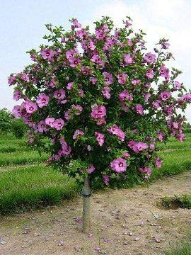(Tree Form 3 Gallon) Althea Aphrodite-Each was Beautiful as a Shrub and Hand Made Even More Unique and Attractive as a Small Tree. Single Pink with red Throat(Rose of Sharon) by Pixies Gardens (Image #1)