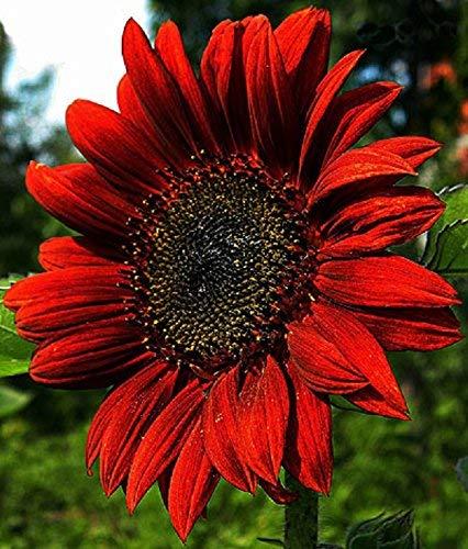 Organic Decorative Sunflower seeds Red Sun (Helianthus annuus) 20 Seeds.