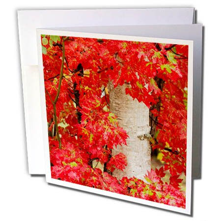 3dRose Danita Delimont - Trees - Red maple leaves in autumn and white birch tree trunk, Michigan. - 12 Greeting Cards with envelopes - Birch Michigan