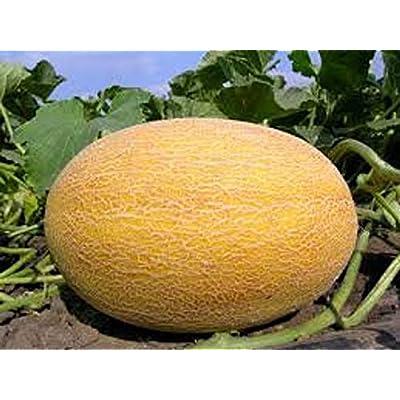 Melon Seeds Amal Organic Seeds from Ukraine : Garden & Outdoor