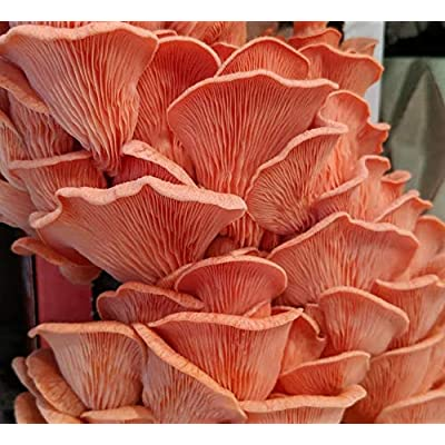 100 Pink Oyster Mushroom Spawn Plugs to Grow Gourmet Mushrooms at Home on Logs or Stumps. Logs Will Produce Mushrooms for Many Years to Come. : Garden & Outdoor