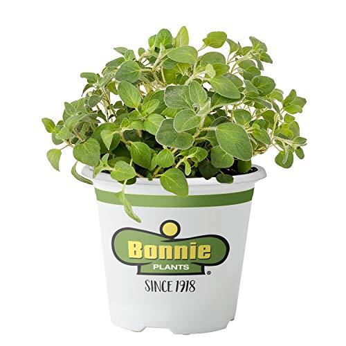 Bonnie Plants 5081 Italian Oregano Herb Plant
