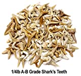 SHARK TEETH Fossils (1 Pound) Bulk Wholesale, Grade A, B & C Mix Genuine Moroccan, 50-60 Million Years old (Paleocene Period), Real Authentic Shark Tooth Collection, FREE BONUS: Fossil Book & ID Card