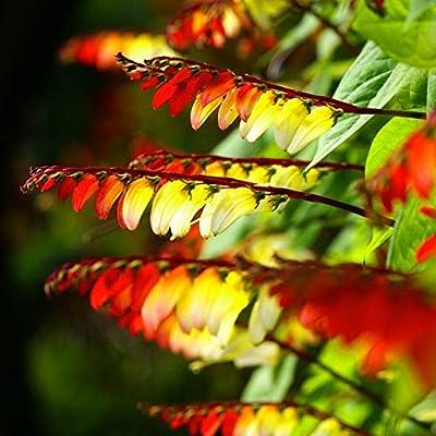 Seeds4planting - Seeds Quamoclit (Ipomoea) Spanish Flag - Organic : Garden & Outdoor