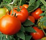 new girl tomato - 20 seeds Early Girl Tomato seeds Hybrid Non-Gmo New seeds for 2016