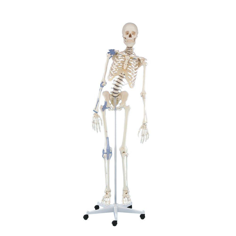 Human Skeleton Anatomical Model Full Body Skeleton 176 Cm Options