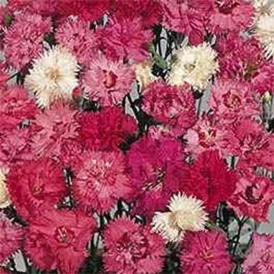300 Seeds Dianthus Plumarius Spring Beauty