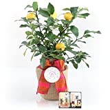 Happy Birthday Meyer Lemon Gift Tree by The Magnolia Company - Get Fruit 1st Year, Dwarf Fruit Tree with Juicy Sweet Lemons, Potted Lemon Citrus Tree for Indoors or Outdoors