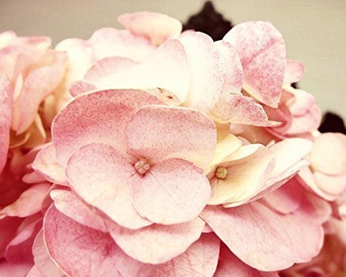 Pink Hydrangea Photo flower picture 5x7 inch Print by Audra Edgington Fine Art