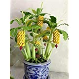 30 Pcs Dwarf Banana Seeds Bonsai Tree,Tropical Fruit Seeds,Bonsai Balcony Flower for Home Planting,Germination Rate of 95%