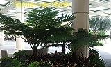 CYATHEA AUSTRALIS - AUSTRALIAN TREE FERN - STARTERS - 2 PLANTS