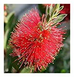 Callistemon citrinus - Crimson Bottlebrush - 100 seeds
