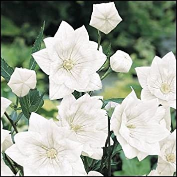 Amazon white balloon flower platycodon grandiflorus double white balloon flower platycodon grandiflorus double white tubular seedling mightylinksfo
